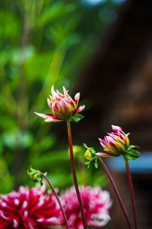 Red white dahlia flower. Nature background 版權商用圖片 - 139113161