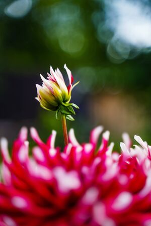 Red white dahlia flower. Nature background Banque d'images