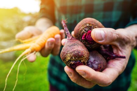 Carrots and beets in the man farmer hands in a green plaid shirt Banque d'images