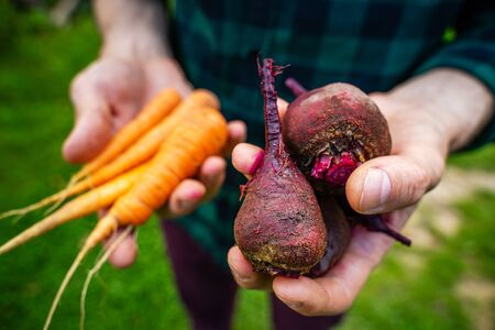 Carrots and beets in the man farmer hands in a green plaid shirt 版權商用圖片