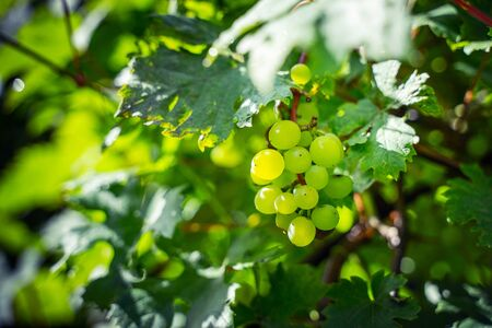 Green grapes on a branch. Vineyard background 版權商用圖片 - 139113186