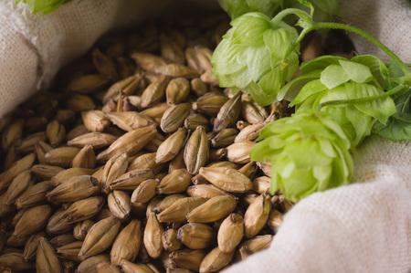 Cones of hops and pale caramel malt in bag, closeup. Ingredient in beer industry. Craft beer brewing from grain barley malt.