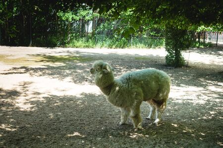 long-haired alpaca walking in a Russian zoo grazing in the shade of trees  conditions of keeping wild animals in captivity