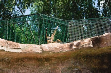 Monkey in a cage, hanging on the bars. Keeping an animal in a zoo instead of a jungle. wild animal living in the zoo