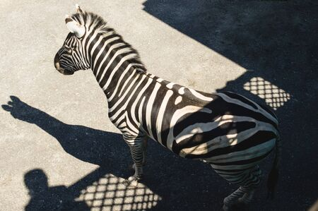 Zebra on the asphalt background, photographed from above. striped animal in not natural habitat.      African animal living in the zoo
