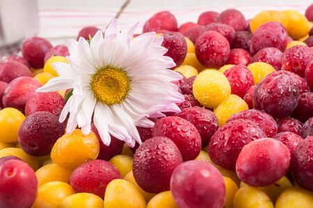 background of beautiful home plums and white chrysanthemum flower. Organic red and yellow plums. 写真素材 - 132049804