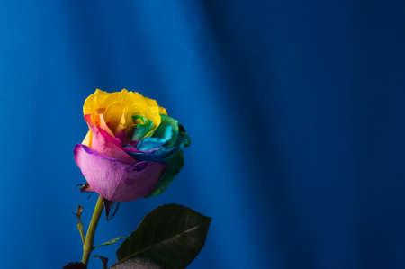 Multicolor rose. Amazing rainbow rose flower on blue background 免版税图像