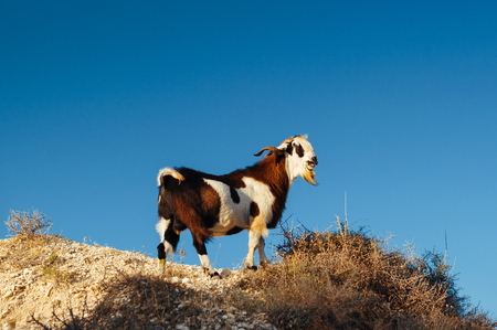 A wild goat on a rocky cliff in the mountains. Goat in the wild. Animals at sunset. Animals Of Cyprus. Wild Goat in the mountains