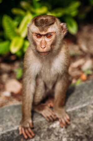 Portrait of a wild monkey. A selfie of a monkey. Macaque looks at the camera. Wild primates. Wild animal. Animal eyes