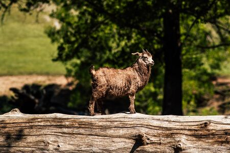 Curious little goat. A small goat stands on a fallen tree. Goat on the tree