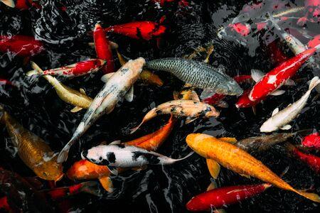 Royal carp in the pond. Koi carp in the pond. Ornamental fish. Brocade carp in the water. Japanese koi carp. Sacred fish