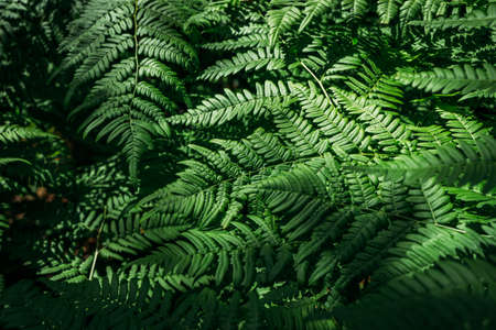 Summer green texture hundreds of ferns. Green fern tree growing in summer. Fern with green leaves on natural background. Natural floral fern background on a sunny day