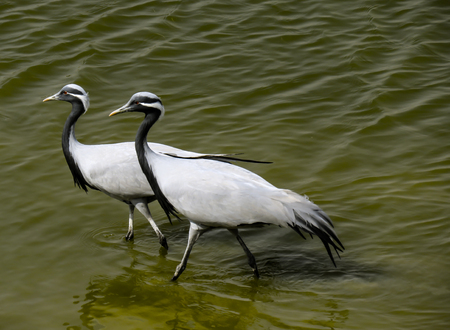 Two beauty cranes walking in the water Stock Photo