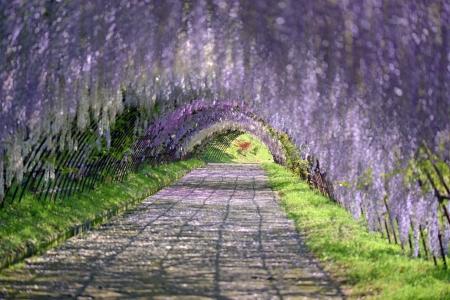 tunel: Túnel en espaldera wistaria