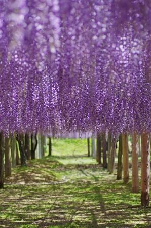 wisteria: Tunnel in wistaria trellis
