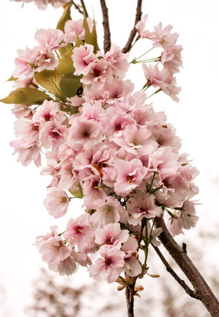 an inflorescence: Flowering branch cherry on a white background