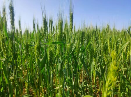 Ears of young green wheat on the field 写真素材