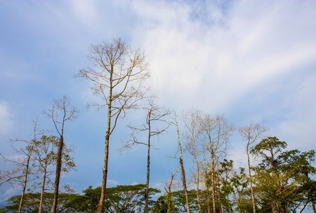 Dried trees in blue sky photo