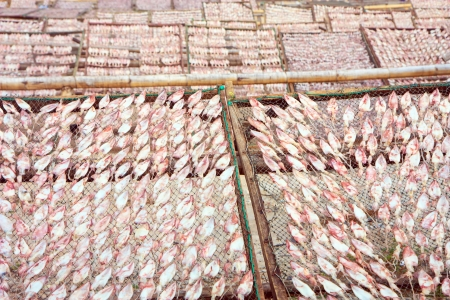 Dried squid in many rows photo