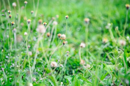 Green spring meadow with tiny daisies photo