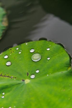 lotus effect: water drop on lotus leaf
