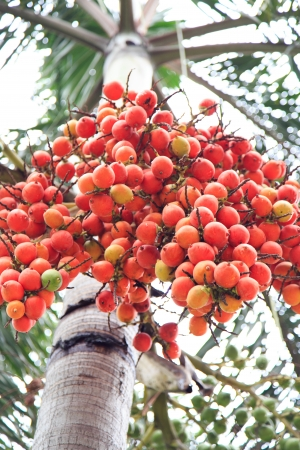 red Palm fruit on tree photo