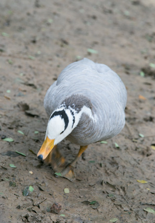 web footed: Duck Stock Photo