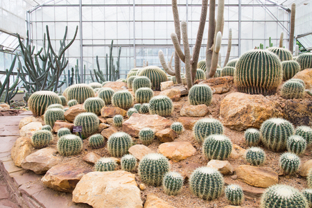 Cactus farm in green house photo