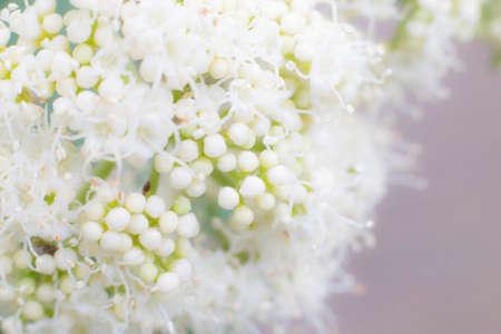 flower bunch: blur white flower bunch as dreamy background