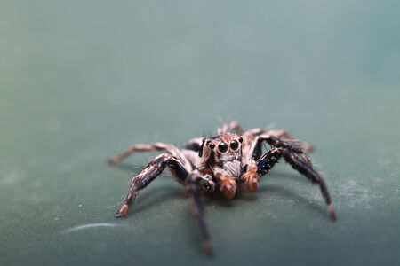 jumping spider: Jumping Spider Stock Photo