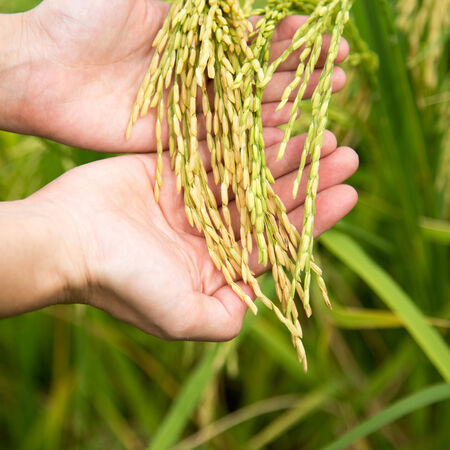 cereals holding hands: Rice seed on hand Stock Photo