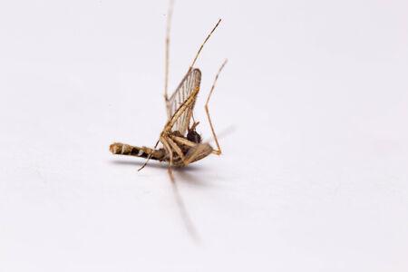 culicidae: Mosquito