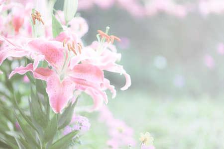 dreamy: Lily flower dreamy light Stock Photo