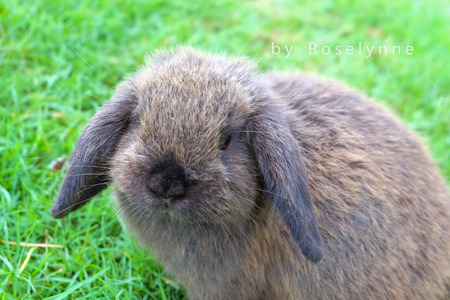 lop: aguti holland lop rabbit