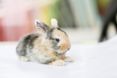 lop lop rabbit white: Baby holland lop rabbit sits on white floor