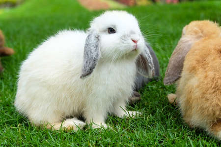White rabbit on green grass. Hollands lop bunny in nature