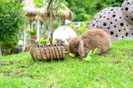 lop: Holland lop rabbit