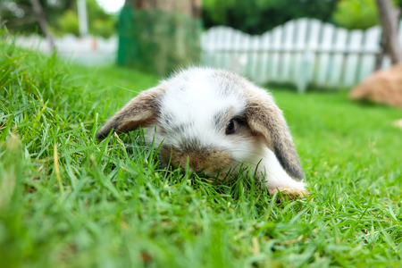 lop: Holland lop rabbit