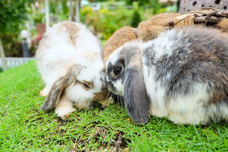 rabbit: Holland lop rabbit