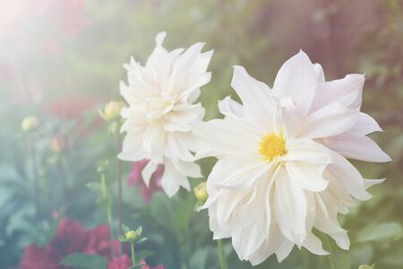 photoshop: white dahlia with vintage tone and sunlight beam by photoshop