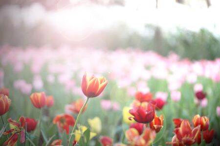 photoshop: red tulips in field under sun light by photoshop in vintage tone