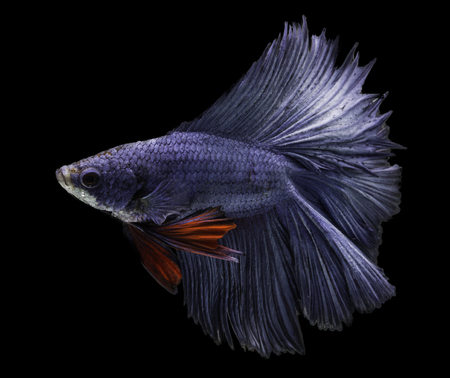fire fin fighting: blue siamese fighting fish on black background