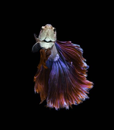 fire fin fighting: red and blue siamese fighting fish on black background