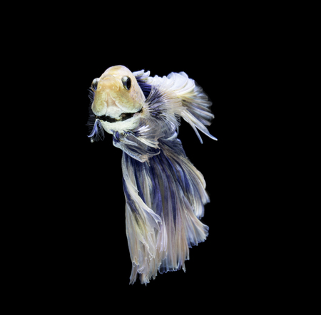 fire fin fighting: blue and white siamese fighting fish on black background