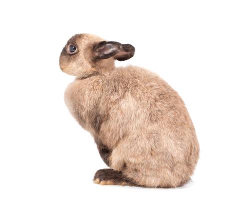 dwarfs: brown Netherlands dwarfs rabbit stands on white background