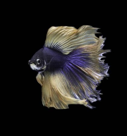 fire fin fighting: dark blue siamese fighting fish on black background