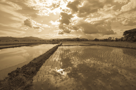 water scape: rice plantation and cloud scape and reflection in water, sepia tone Stock Photo