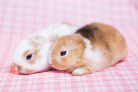 Two baby rabbits, white and brown colored young rabbit and handicap (without ears) baby bunnyon pink cloth