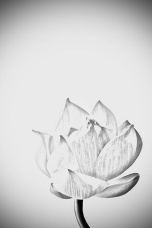 lotus on gray background with vignette (pencil drawing technique
