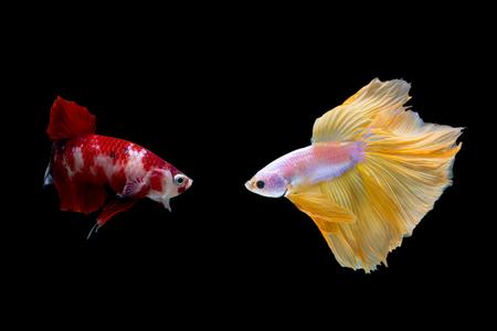 Two betta fish , yellow fighting fish and red dot (koi) betta siamese fighting fish on black background isolated